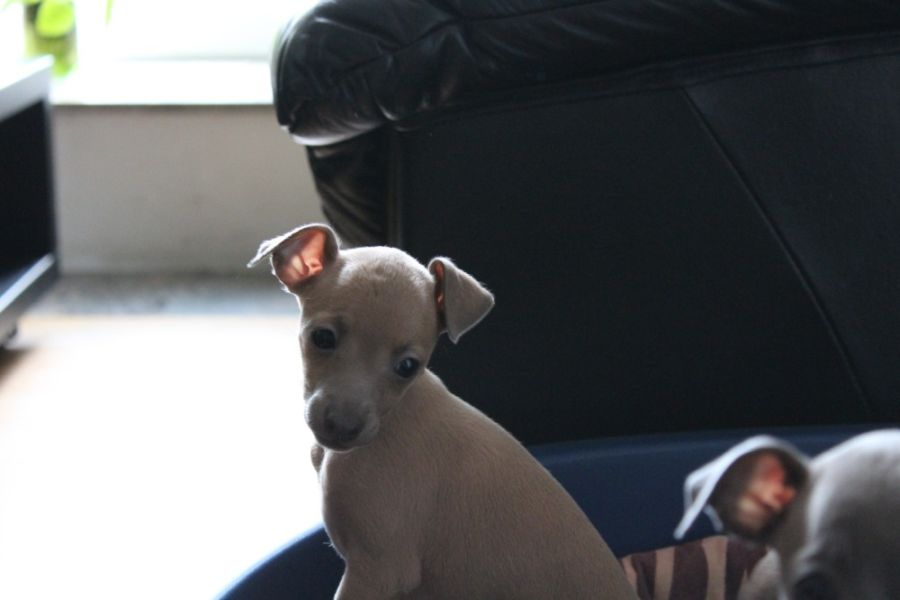 Italian Greyhound kennel Tileco